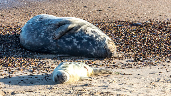 Grey seals: mother and baby (cow and pup)