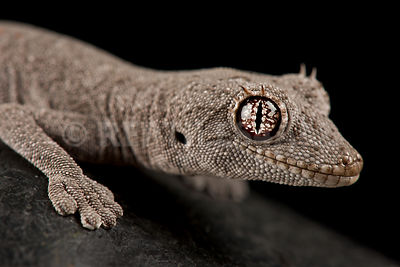 Western Shield Spiny-tailed Gecko (Stropurus wellingtonae)