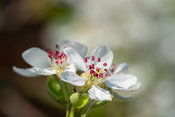 Deep pink stamens of pear blossom flower - copy space