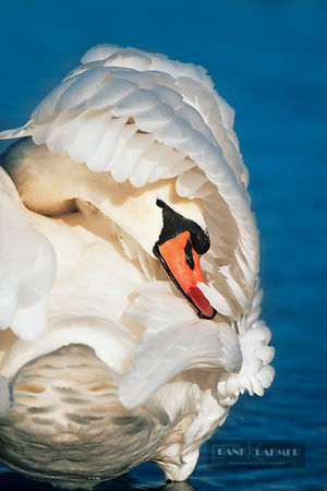 Mute swan Cleaning feathers (lat. cygnus olor) - Europe, Germany, Bavaria, Upper Bavaria, Munich, Flaucher, Thalkirchen - scan
