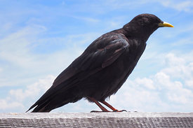 Common Black bird