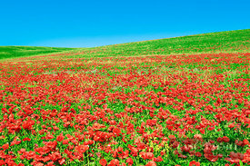 Corn poppy field on resting field (lat. papaver rhoeas) - Europe, Italy, Tuscany, Siena, Val d'Orcia, Pienza, south of - digital