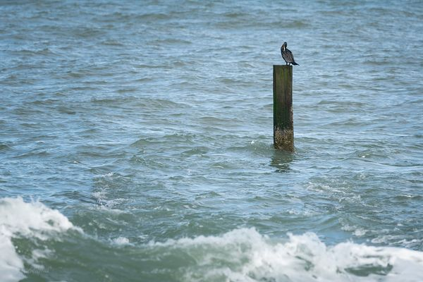 Great cormorant on pole in dea