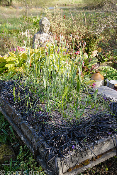 Fritillaries and Ophiopogon planiscapus 'Nigrescens' in a shallow stone trough in the Courtyard Garden.