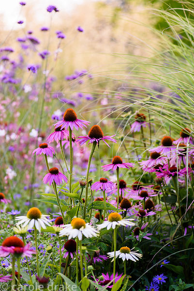 Echinacea purpurea 'Rubinglow' amongst Echinacea purpurea 'White Swan', Verbena bonariensis, Aster × frikartii 'Mönch' and or...