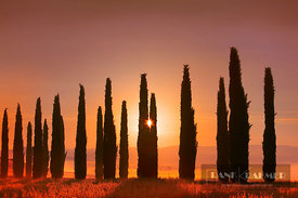 Mediterranean cypress alley in mist (lat. cupressus sempervirens) - Europe, Italy, Tuscany, Siena, Val d'Orcia, San Quirico d...