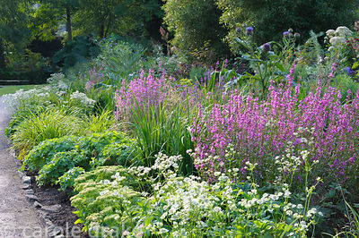 Border with lythrum, astrantias, sedums, globe artichokes and hardy geraniums in the Wells Gardens