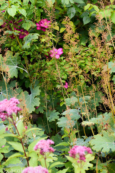 Pink clematis flowers amongst the stems of Macleaya cordata and Eupatorium purpureum at Broadwoodside, Gifford, East Lothian ...