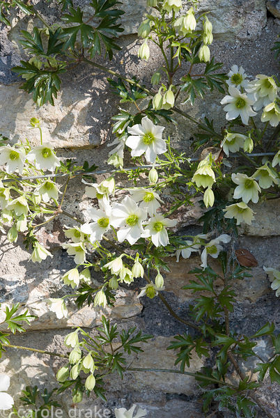 Clematis 'Early Sensation'. Milton Lodge, Wells, Somerset, UK