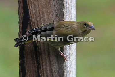 European Greenfinch (Chloris chloris), Badenoch & Strathspey, Scottish Highlands