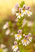 Gentle flowers of eyebright - macro