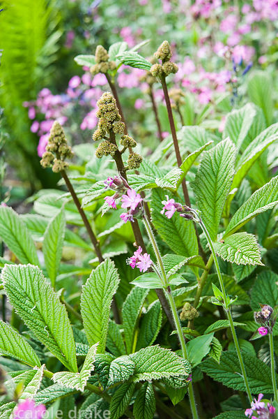 Rodgersia pinnata mingles with the pink flowers of Silene dioica, red campion.