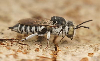 Coelioxys species 2019/001
