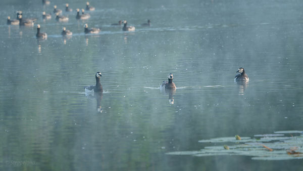 Three barnacle geese and group swimming on the water.