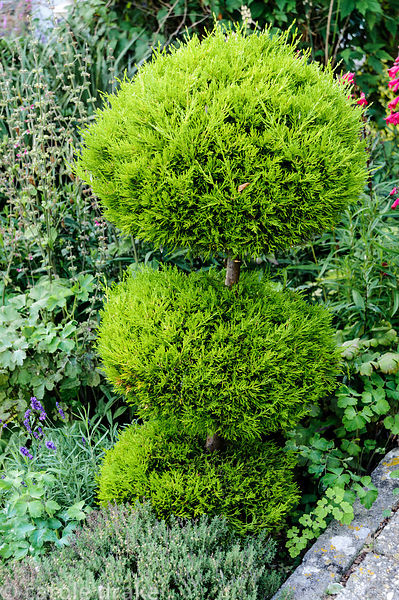 Clipped bright green conifer.