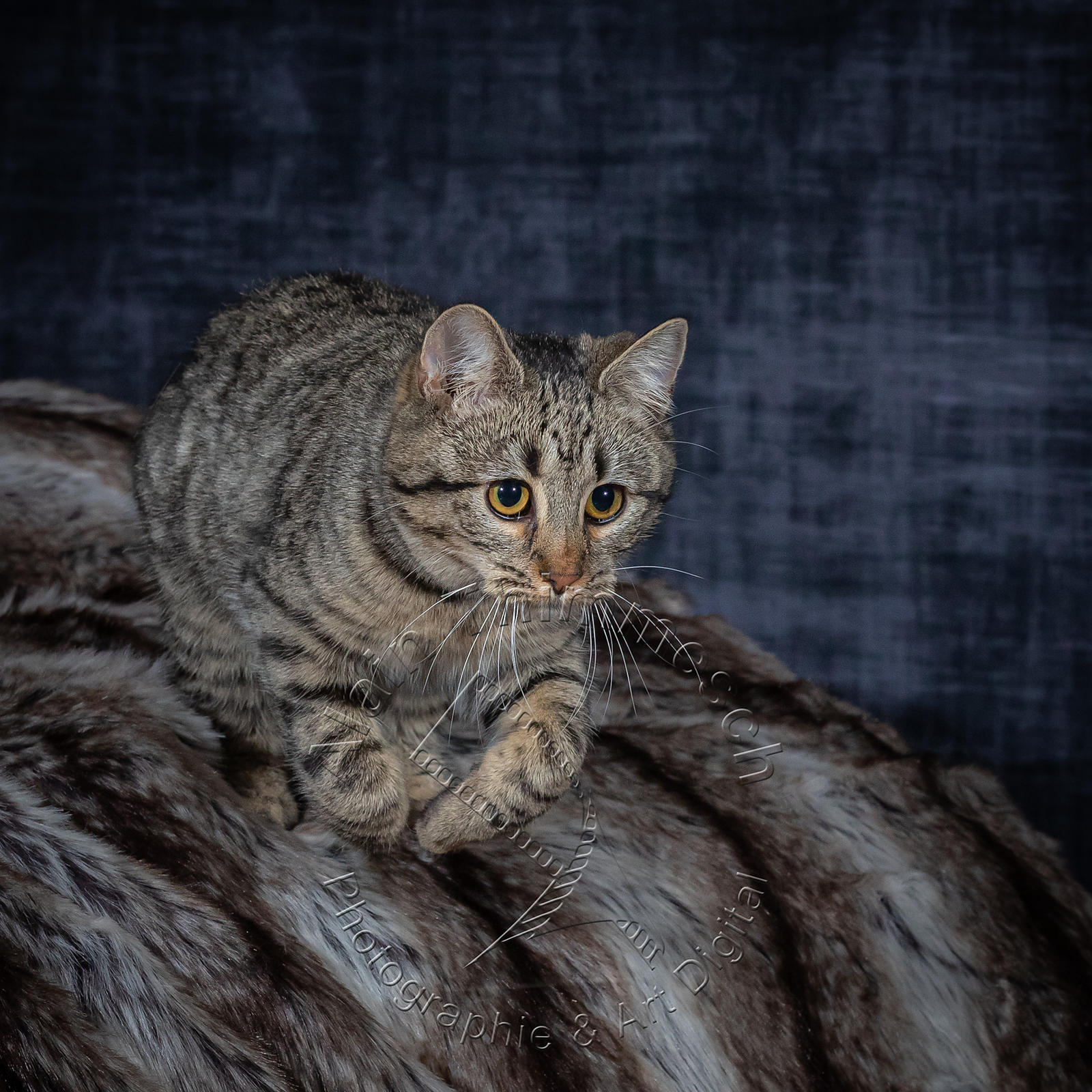 Photographie-Alain-Thimmesch-Chat-1090