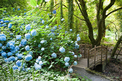 Rustic style chestnut bridge surrounded by hydrangeas and bamboos. Coleton Fishacre, Kingswear, Devon, UK