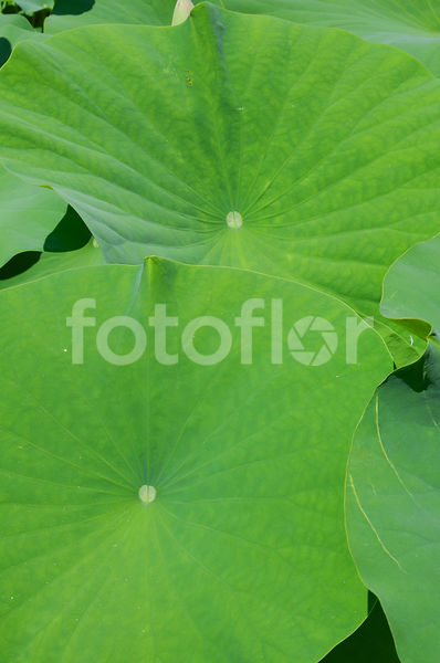 Nelumbo nucifera, lotus, feuille