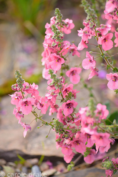 Diascia elegans. 2 Durnamuck, Little Loch Broom, Wester Ross