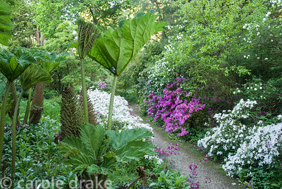 Stand of tall Gunnera manicata, giant rhubarb, beside path with azaleas and viburnum opposite. Minterne, Minterne Magna, Dorc...