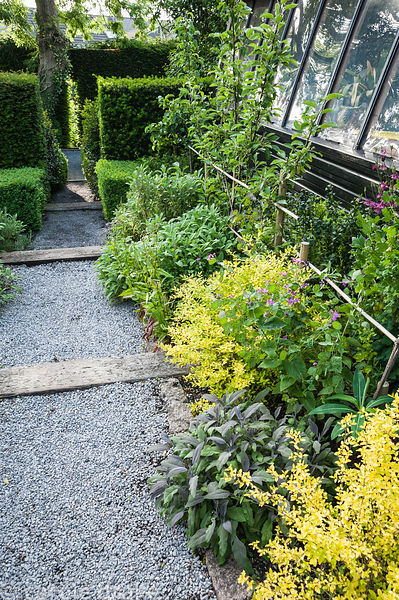Golden privet, purple sage and young trained fruit trees in the kitchen garden. Tony Ridler's garden, Swansea, Wales, UK