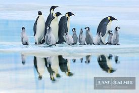 Emperor penguin group with chicks on way to rookery (lat. aptenodytes forsteri) - Antarctica, Antarctica, Antarctic Peninsula...