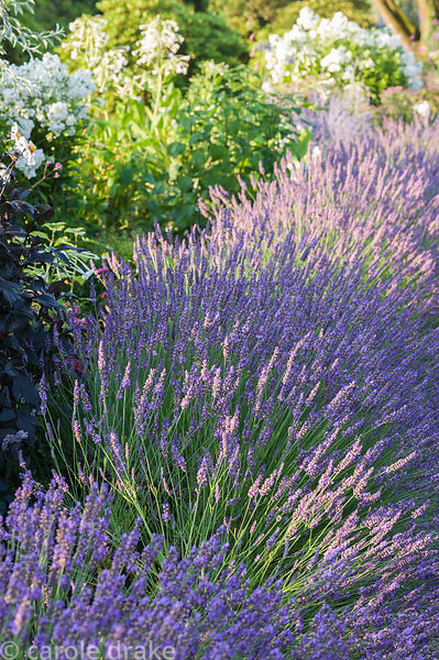 Summer borders designed by Xa Tollemache are edged with Lavandula × intermedia 'Grosso'. Castle Hill, Barnstaple, Devon, UK