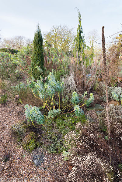 Border of grasses and evergreens including hebes, conifers, creeping thyme and euphorbias with dead flowers spikes of Verbena...