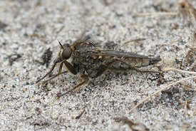 Close up of a fan-bristled robberfly, Dysmachus trigonus