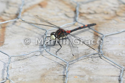 White-Faced Darter (Small Whiteface) dragonfly male (Leucorrhinia dubia) with head turned towards camera to show whole of whi...