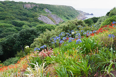 Agapanthus, phormiums and crocosmia mingle on garden slopes above Lamorna Cove