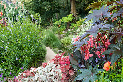 Path framed with exuberant planting including ricinus, pale blue Salvia uliginosa, silvery plectranthus, dahlias and red leav...