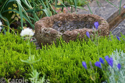 Decorative terracotta bowl placed at end of rill surrounded by winter flowering heather, blue Triteleia laxa and white valeri...