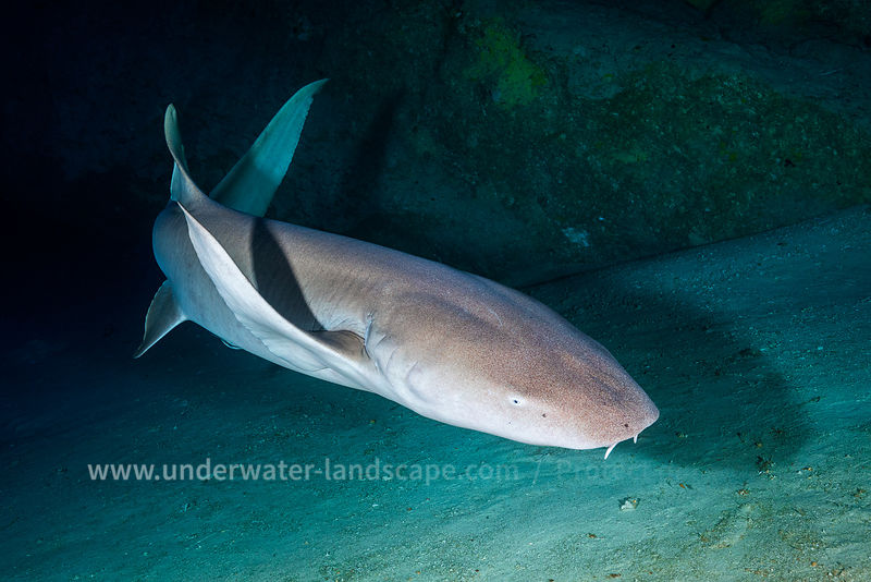 Nurse Shark in a cave