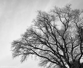 Tree silhouette study, Apr. 1st, 2018 (III)
