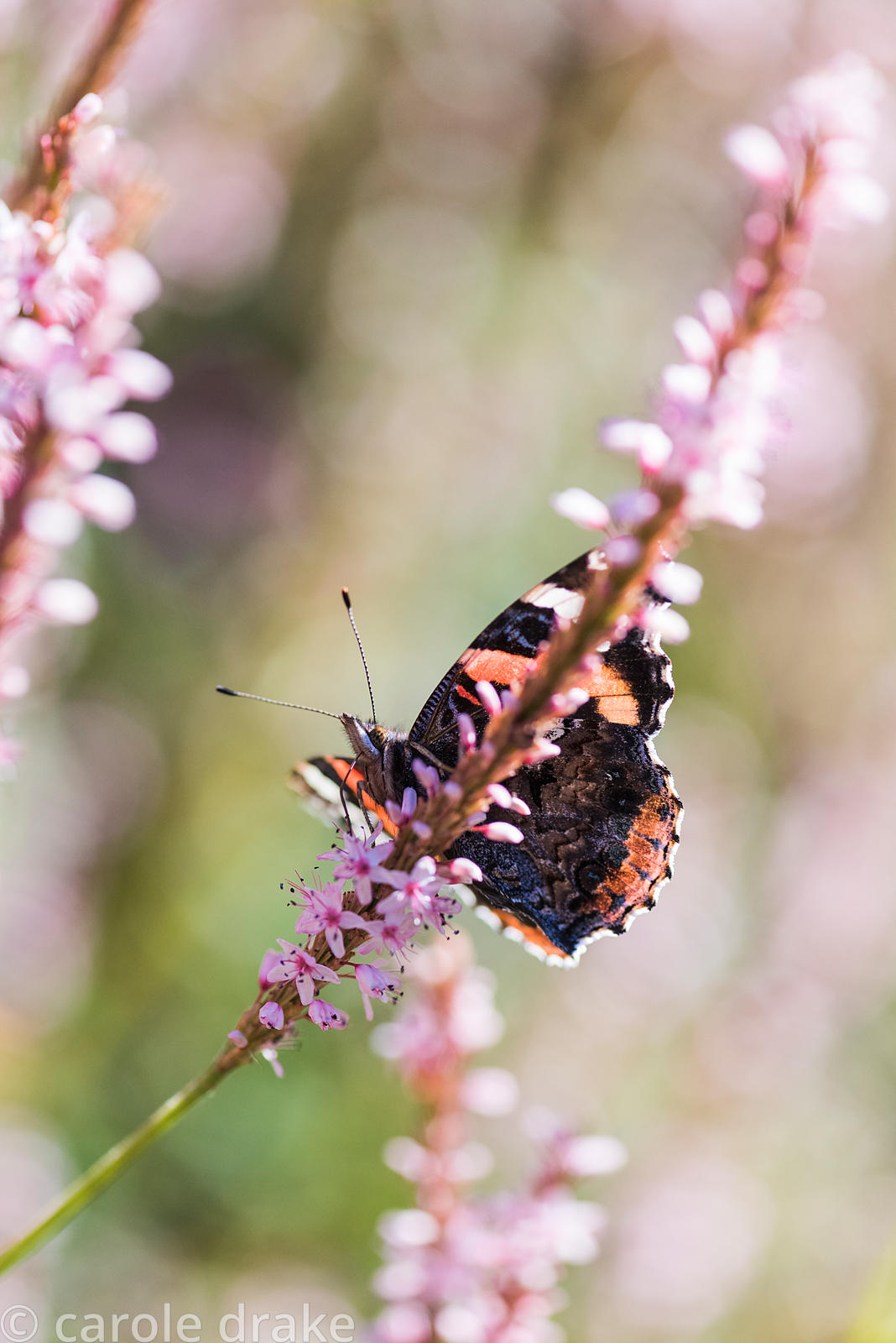 Red Admiral, Vanessa atalanta, on Persicaria amplexicaulis 'Rosea' in September. Cambo Gardens, Fife, Scotland