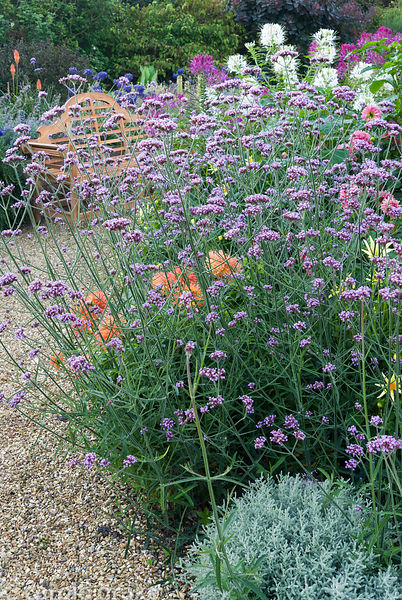 Mass of purple Verbena bonariensis rises above soft mound of santolina, orange dahlias and with cleomes behind. Crab Cottage,...