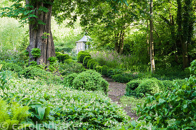 Undulating hedges of clipped box edge a path down into the shady dell garden planted with comfrey, ferns, hostas and red camp...