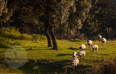 Flock of sheeps (ovis orientalis aries) grazzing at sunset