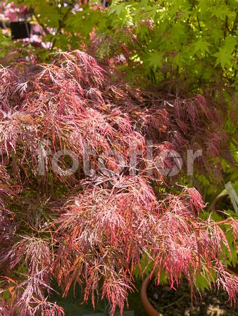 Acer palmatum 'Pink Filigree', érable du Japon