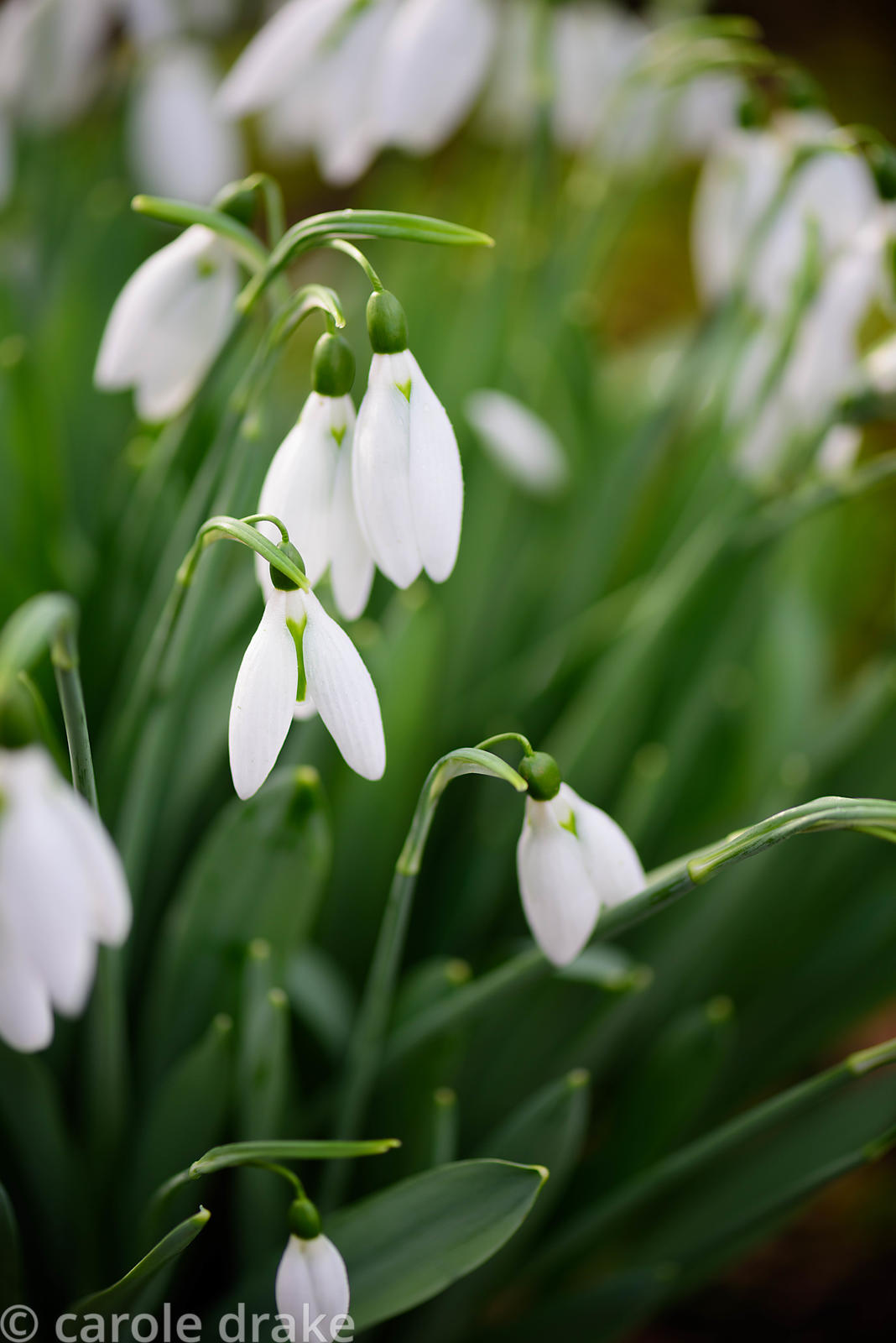 Galanthus elwesii 'X Files'. Higher Cherubeer, Devon