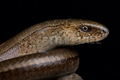 Eastern slow worm (Anguis colchica)