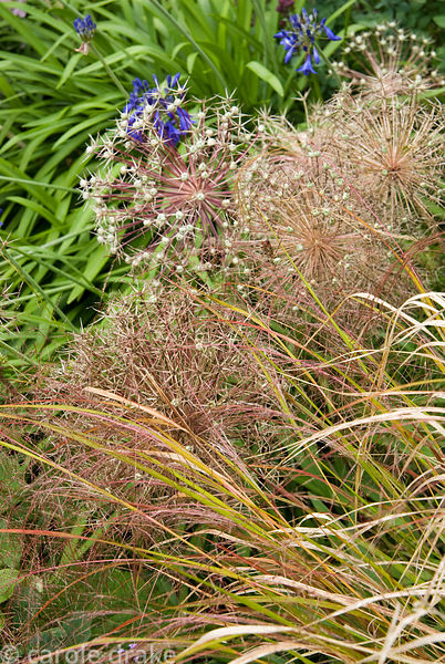 Feathery pheasant grass, Anemanthele lessoniana, with seedheads of Allium cristophii and agapanthus behind. Holbrook Garden,T...