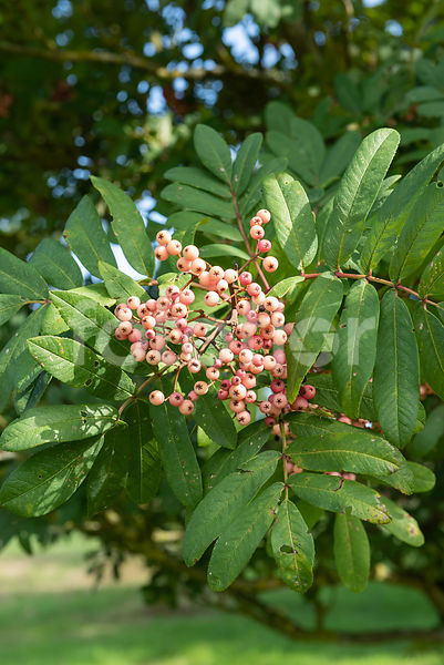 Sorbus 'Bellona', sorbier, fruits