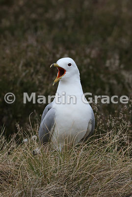 Common Gull (Mew Gull) (Larus canus) vocalises on the breeding grounds at Lochindorb, Inverness-shire, Scottish Highlands