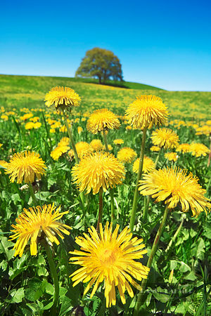 Dandelion meadow and oak (lat. taraxacum officinale) - Europe, Germany, Bavaria, Upper Bavaria, Garmisch-Partenkirchen, Saulg...