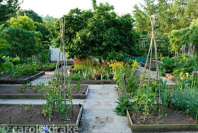 Formal kitchen garden with central medlar tree underplanted with Tulipa sprengeri and wallflowers. Ivy Croft, Leominster, Her...