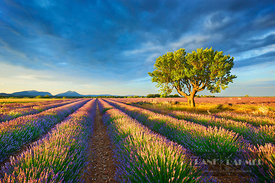 Almond and lavender field (lat. prunus dulcis) - Europe, France, Provence-Alpes-Cote d'Azur, Alpes de Haute Provence, Forcalq...