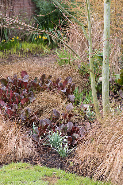 Red leaves of bergenia with Carex comans and snowdrops around a snakebark maple, Acer capillipes at  Ellicar Gardens, Notts