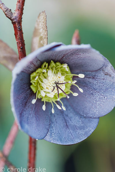 Flower of Helleborus x hybridus bred by Wendy Perry at Bosvigo, Truro, Cornwall, UK